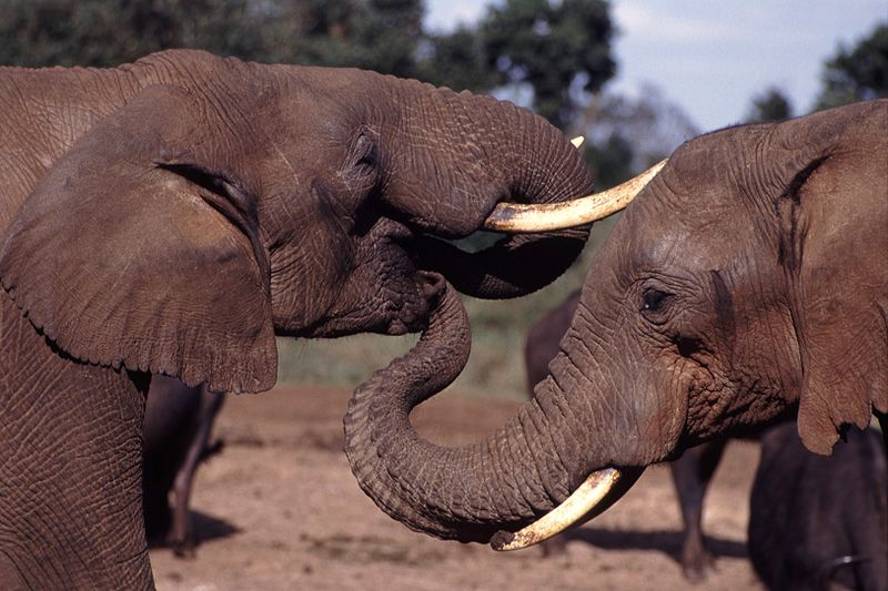 elephants communicate with one another