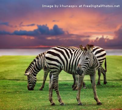 i Zebra Safari fdp (1)