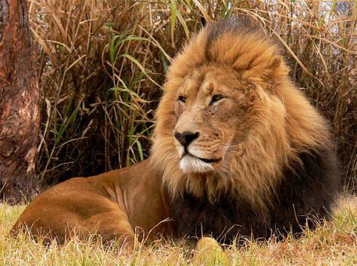 Lion_mrg