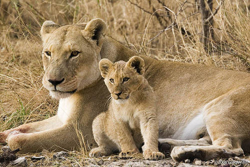Lioness_and_cub Google