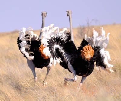 Ostrich dance sm