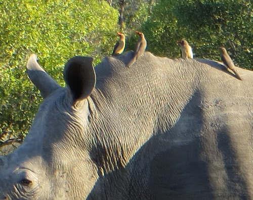 Rhino and Tick Birds