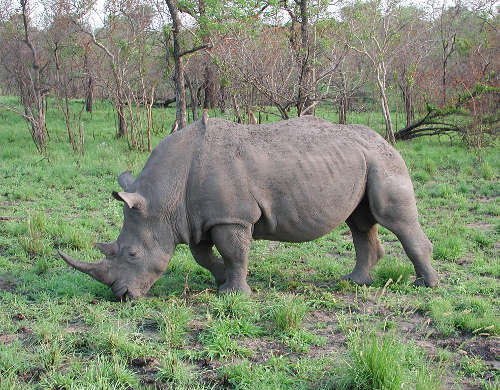 Rhinoceros Wikipeida