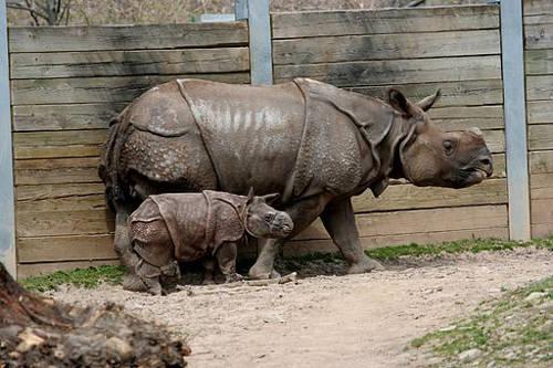 Rhinoceros and baby_Buffalo_Zoo