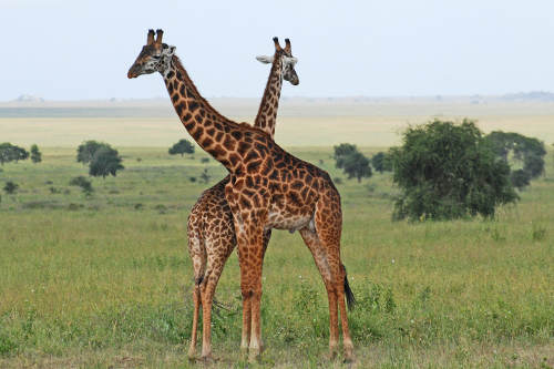 The giraffe (Giraffa camelopardalis) is an African even-toed ungulate mammal, the tallest living terrestrial animal and the largest ruminant.