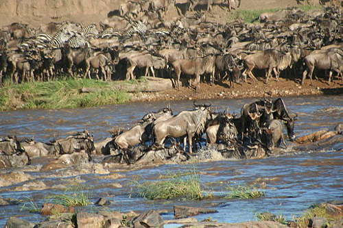 Serengeti wildebeest crossing river