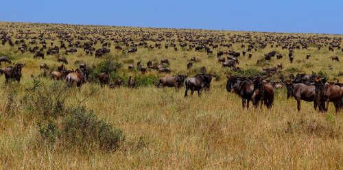 Serengeti wildebeest sm