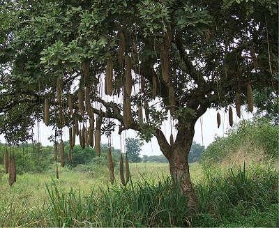 TREE Sausage_tree