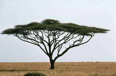 TREE Umbrella_thorn_acacia_or_israeli_babool_tree_plant_acacia_tortillis