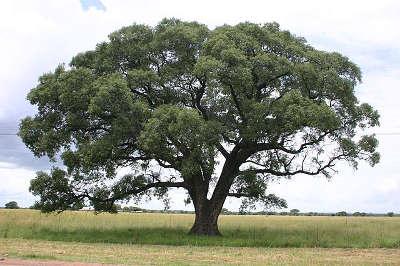 Tree Marula02