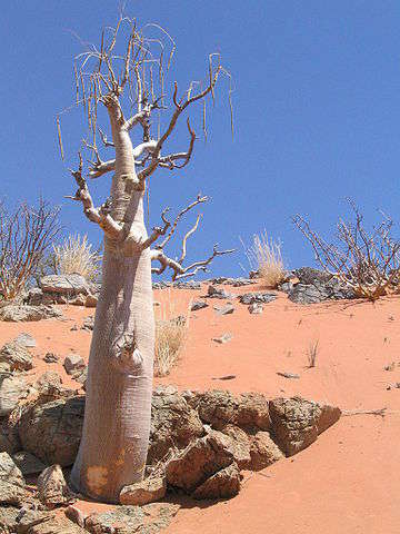 Tree Moringa Bottlea