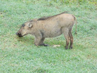 Warthog baby kneeling
