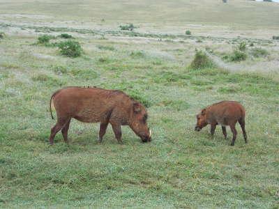 Warthog  couple