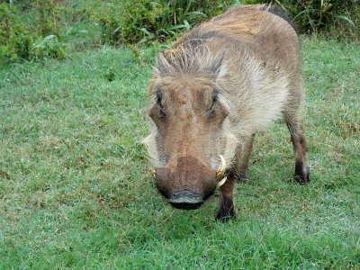 Warthog fierce