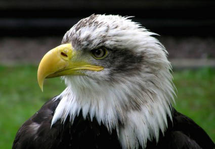 bald_eagle_adler_raptor_216268