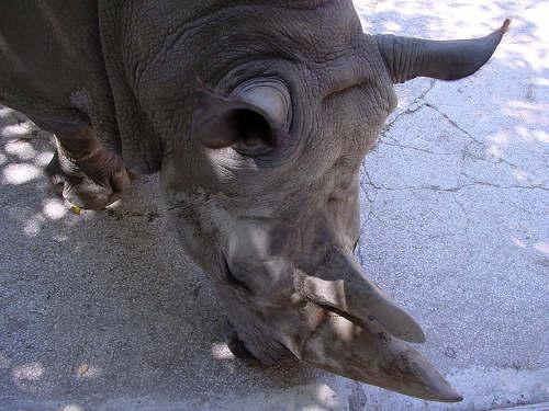 rhinoceros-head
