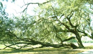 FCWC tree