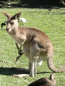 location australia kangaroo-580343_640